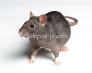 depositphotos_19232197-Rat-on-white