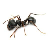Mravenec černý